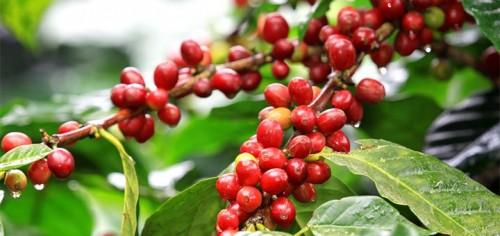 kahve-cekirdegi-meyvesi